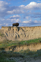 Lone bull bison, prairie badlands area, South Dakota, Summer.