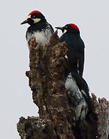 Acorn woodpecker group