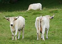 White Park cows, Llandeilo, Carmarthenshire, Wales....Copyright..John Eveson, Dinkling Green Farm, Whitewell, Clitheroe, Lancashire. BB7 3BN.01995 61280. 07973 482705.j.r.eveson@btinternet.com.www.johneveson.com