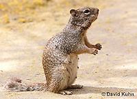 0613-1103  Rock Squirrel (Ground Squirrel), Pregnant Female, Spermophilus variegatus (Otospermophilus variegatus)  © David Kuhn/Dwight Kuhn Photography