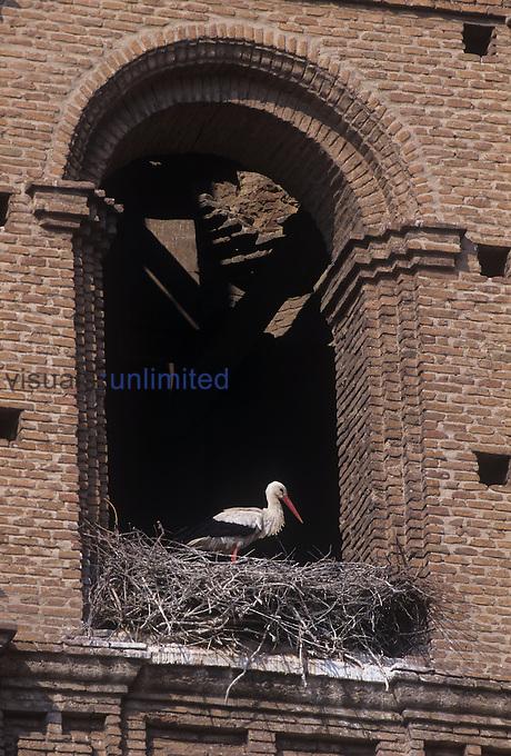 White Stork nesting ,Ciconia ciconia,, Alfaro, Spain.
