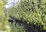 Foto: VidiPhoto<br /> <br /> DODEWAARD &ndash; Waakzaam kijken twee ree&euml;n woensdag om zich heen in de boomgaard van fruitteeltbedrijf VreeFruit in Dodewaard. De dieren zijn volgens eigenaar Thomas de Vree inmiddels vaste bezoekers van zijn bedrijf. Boomgaarden zijn volgens hem nieuwe en aantrekkelijke nieuwe &lsquo;natuur&rsquo; voor wild, omdat er steeds minder bestrijdingsmiddelen gebruikt worden. Het Dodewaarse fruitbedrijf teelt Planetproof, volgens kenners vergelijkbaar met biologisch. Op dit moment valt de schade die de ree&euml;n veroorzaken nog mee -&ldquo;ze vreten wat aan de takken en bomen&rdquo;- maar de kans is aanwezig dat meer &lsquo;knaag- en knabbelwild&rsquo; de boomgaarden van De Vree ontdekt als &lsquo;fruitig&rsquo; tussendoortje.