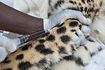 Cheetah (Acinonyx jubatus) veterinarian, Kambwiri Banda, drawing blood from twenty-one month old sub-adult female during collaring, Kafue National Park, Zambia