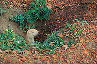 Black-tailed Prairie Dog (Cynomys ludovicianus) peers from burrow.
