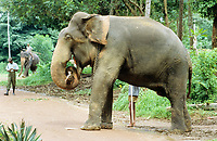 Male working elephant with mahout