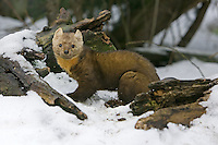Pine Marten standing on the snow covered ground - CA