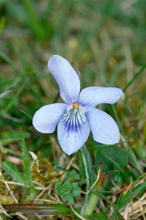 Heath Dog-violet - Viola canina (Violaceae) Height to 30cm<br />  Perennial herb that lacks a basal rosette of leaves. Found on dry grassland, mainly on sandy soils. FLOWERS are 12-18mm across with pale blue petals and a short, greenish yellow spur (Apr-Jun). FRUITS are not inflated. LEAVES are narrow-oval with a heart-shaped base. STATUS-Widespread but only very locally common.