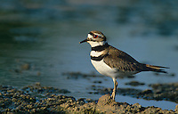 554550021 a wild adult killdeer charadrius vociferous stands on the edge of a small pond in the rio grande valley of south texas