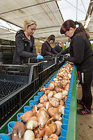 Traying tulip bulbs for forcing - Lincolnshire, February