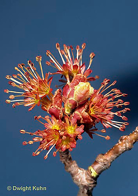 MP06-007a  Red Maple male flowers - Acer rubrum