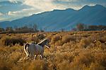 Whitre horse in field of sagebrush near Susanville, Lassen County, California