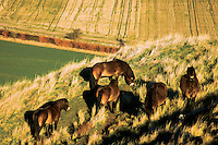 A herd of Exmoor wild ponies grazing on the slopes of Traprain Law, East Lothian