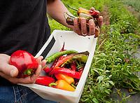 Farmer Manuel Recio harvesting heirloom vegetable, peppers, Viridian Farms, Oregon