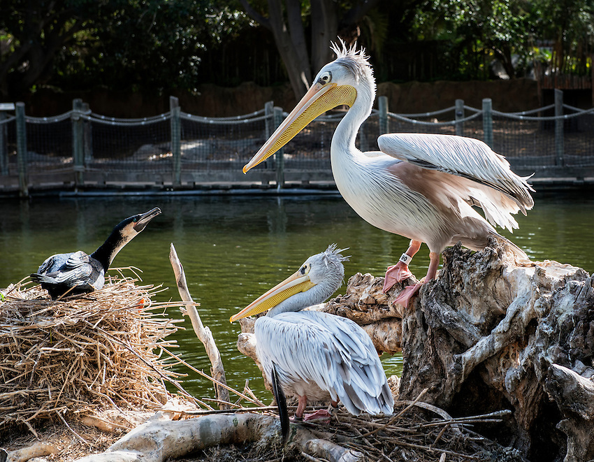 An apparent discussion among 2 pink-backed pelicans and a cormorant. Photo taken at the San Diego Zoo Safari Park.