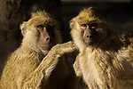 Yellow Baboon (Papio cynocephalus) pair grooming, Kafue National Park, Zambia