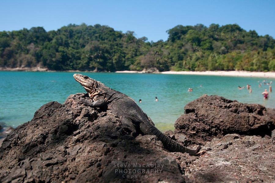 Iguana at the beach, Manuel Antonio National Park, Costa Rica