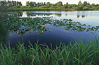 View of Larsen Lake and viewing platform with spring grass and flowering lily pads. Bellevue, Washington.