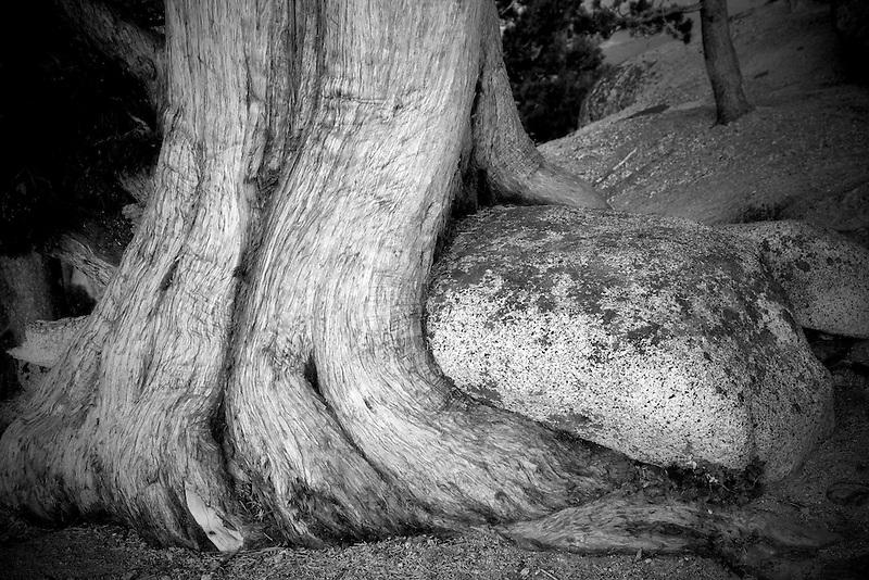 Juniper tree growing around rock. Yosemite National Park, California