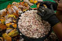 Produtores  ligados a Coopatrans-Cooperativa de Produtores Rurais da Transamazônica, trabalham com a produção de cacau orgânico que é comercializado no exterior entre outros clientes ao fabricante austríaco Zotter.<br /> Medicilândia é considerado o município com maior produção de cacau de todo o País. Com uma produção de 35 milhões de toneladas/ano, a cidade desponta o Pará como o segundo maior Estado produtor de cacau, só perdendo para a Bahia<br /> Medicilândia, Pará, Brasil.<br /> Foto Paulo Santos<br /> 14/11/2013