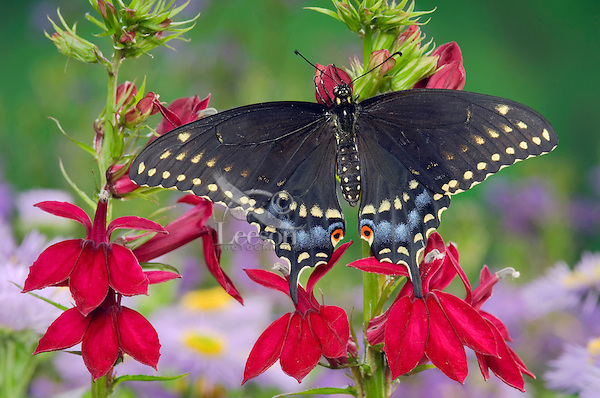 Eastern Black Swallowtail Butterfly (Papilio polyxenes asterius) female on Cardinal Flower (Lobelia cardinalis) in backyard garden. Summer. Nova Scotia, Canada.