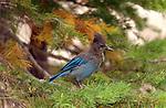 Bart the Steller's Jay Mountain Jay Pine Jay Devil's Postpile High Sierras California
