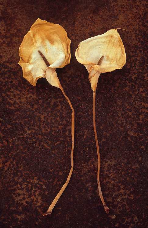 Two dried flowerheads of Arum or Calla lily or Zantedeschia aethiopica Crowborough lying on rusty metal sheet