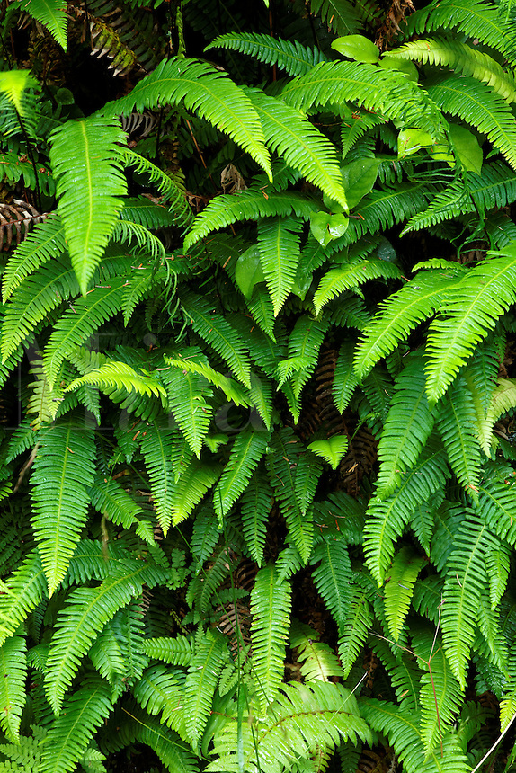 Ferns along Cape Lookout trail, Cape Lookout State Park, Oregon, USA, North America