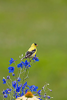 American Goldfinch, Lumberton, New Jersey