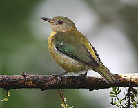 Female silver-throated tanager