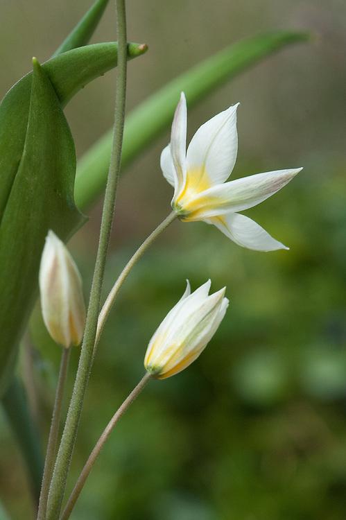 Turkestan tulip (Tulipa turkestanica), mid April.