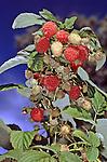 10995-CQ Heritage Raspberry, Rubus `Heritage', branch & fruit, at Mourning Cloak Ranch, Tehachapi, CA USA