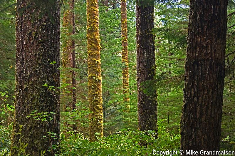 temperate coastal rain forest<br /> Carmanah-Walbran Provincial Park<br /> British Columbia<br /> Canada