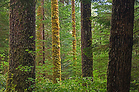 temperate coastal rain forest<br /> Carmanah-Walbran Provincial Park<br /> British Columbia<br /> Canada