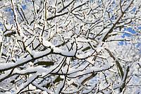 Winterwald, Bäume mit verschneiten Ästen, Eiche, Eichen, Eichenknospen, Knospe, Knospen, Winter, Schnee, Winterlandschaft, Winterstimmung, winterlich, eisig, kalt, Schleswig-Holstein, Deutschland, snow, oak, oaks, bud, buds, Quercus