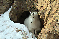 A Mountain Goat in mouth of cave in the Snake River Range outside of Alpine Wyoming