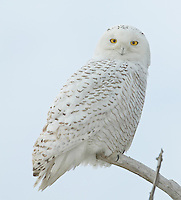Snowy Owl (Nyctea scandiaca) perching on a tree branch against a blue sky