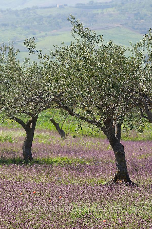 Olivenhain, Olivenplantage, Olivenanbau in Südeuropa, Olive, Oliven, Olivenbaum, Oliven-Baum, Ölbaum, Olea europaea, Olive
