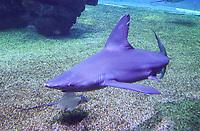 Hai im Big Blue Shark Becken im Aquarium von Palma de Mallorca - Palma de Mallorca 26.05.2019: Aquarium von Mallorca in Plama