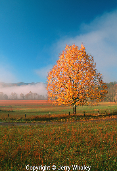 Maple Tree, Autumn, Cades Cove, Great Smoky Mountains National Park, TN