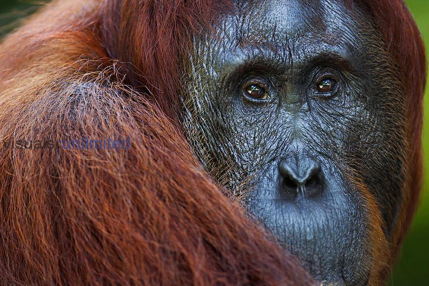 Bornean Orangutan female head (Pongo pygmaeus wurmbii), Camp Leakey, Tanjung Puting National Park, Central Kalimantan, Borneo, Indonesia.