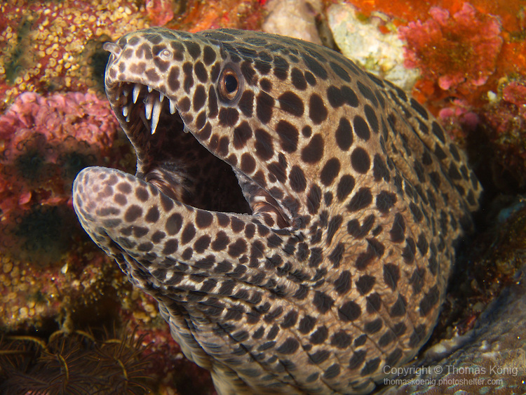 'Grand Canyon' (Da Xia Gu), Green Island -- Blackspotted moray eel (Gymnothorax favagineus) peeking out of a crevice.