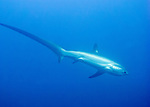 A thresher shark seems to stretch out as it departs, descending from the edge of Monad Shoal back into the deep ocean.  (At Monad Shoal, near Malapascua Island in the Central Visayas, the Philippines.)