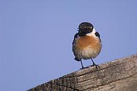 Common Stonechat, Saxicola torquata,male singing, National Park Lake Neusiedl, Burgenland, Austria, Europe
