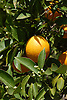 Ripe orange fruit and white blossoms<br /> <br /> Naranja madura y azahares<br /> <br /> Reife Orange und weiße Orangenblüten<br /> <br /> 3008 x 2000 px<br /> 150 dpi: 50,94 x 33,87 cm<br /> 300 dpi: 25,47 x 16,93 cm