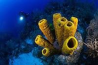TR4313-D. Yellow Tube Sponge (Aplysina fistularis), can grow to 4 feet tall, abundant in Florida, Caribbean, and Bahamas, found in 15 to 100 feet deep. Cayman Islands, Caribbean Sea.<br /> Photo Copyright &copy; Brandon Cole. All rights reserved worldwide.  www.brandoncole.com