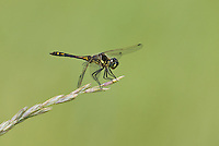 362690011 a wild male black meadowhawk sympetrum danae perches on a grass stem at river springs pond in mono county california