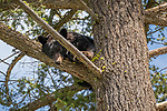 Yellowstone National Park, WY: American Black Bear (Ursus americanus) in a tree