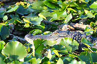 Wakodahatchee Alligator eagerly awaiting a meal (which may consist of a passing duck, turtle, fish or whatever crosses its path). Photographed at Wakodahatchee Wetlands, Delray Beach, Florida.