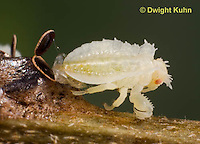 AM07-543z  Ambush Bug hatching from egg, Phymata americana
