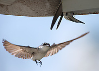 Mangrove swallows would follow our boat on the Rio Tarcoles.  Probably because they were building a nest on it!